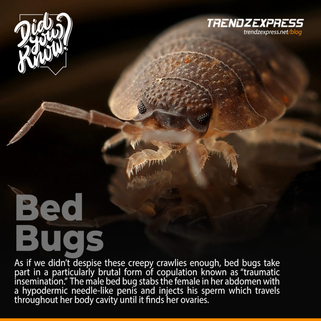 How bed bugs mate
