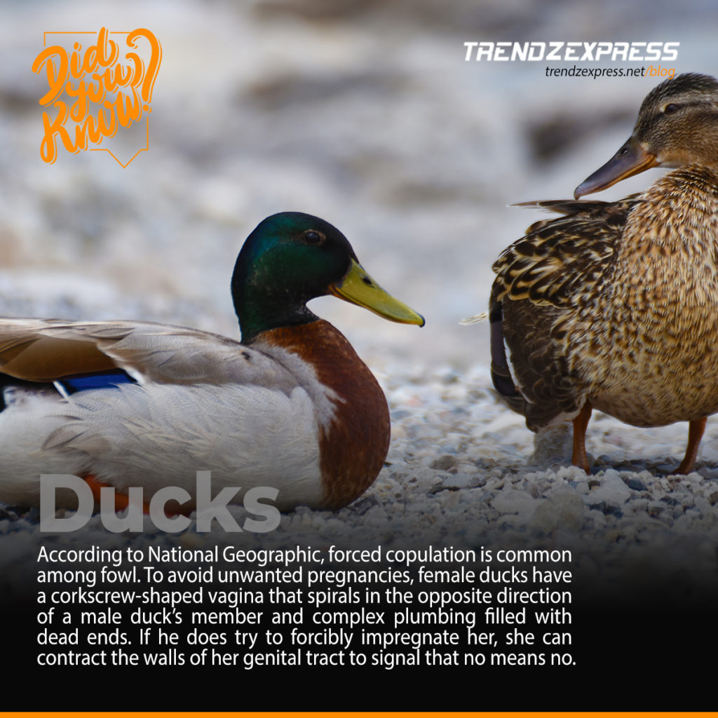Something about ducks
