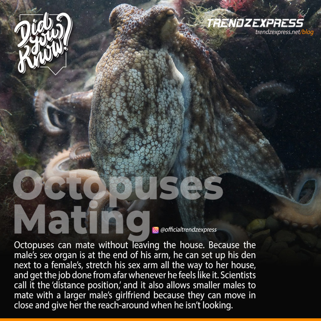 Animal Sex: How Octopuses Do It